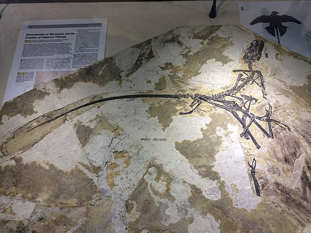 Microraptor specimen on the second floor.